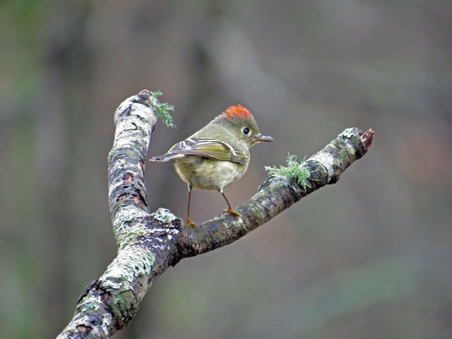 November - Ruby-crowned Kinglet