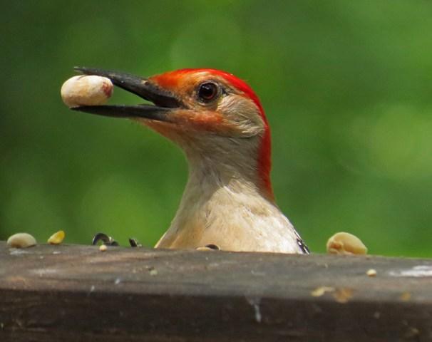 October - Red-bellied Woodpecker