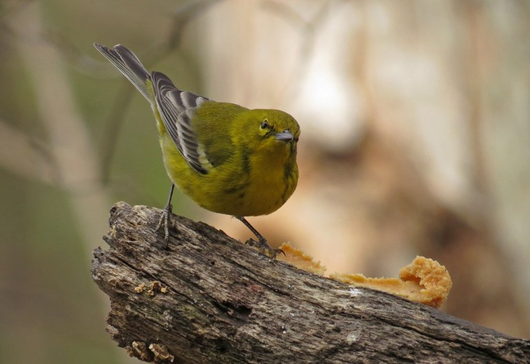 Male Pine Warbler