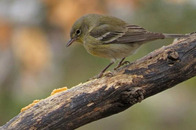 pinewarbler2