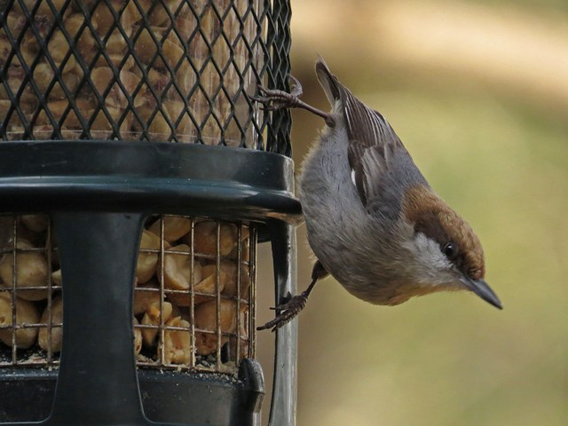 September - Brown-headed Nuthatch