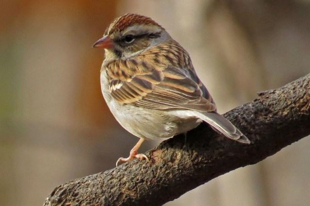 sparrow4