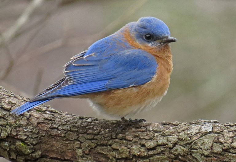 Eastern Bluebirds hung around all day, except when the Robins were bullying them.