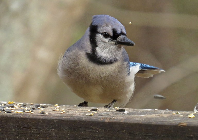 This handsome Blue Jay was sifting through seed in search of some peanuts.