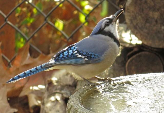 bluejay4