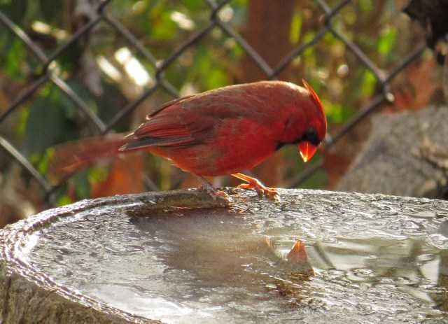 cardinal4