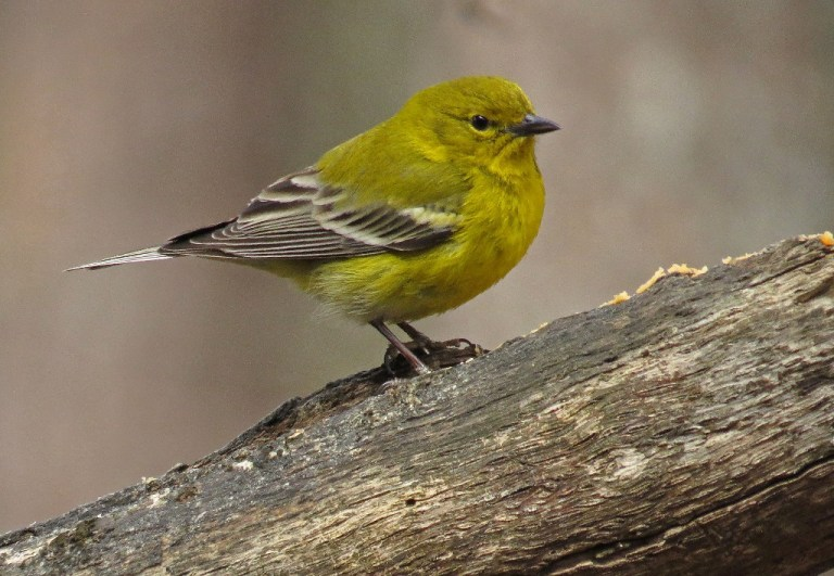 Male Pine Warbler striking a handsome pose.