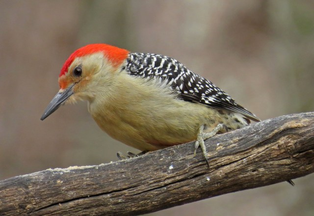 Male Red-bellied Woodpecker.  Black, white and red are always the latest fashion.