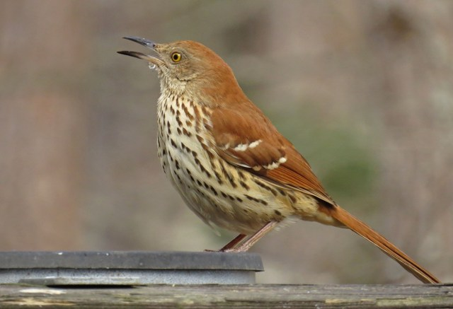 Brown Thrasher taking advantage of the heated water dish.