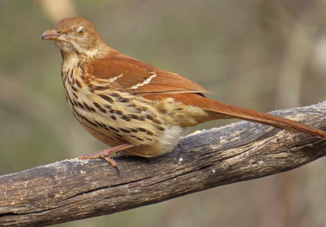 I had to include another Brown Thrasher.  He is giving me the evil eye, like I am the paparazzi.