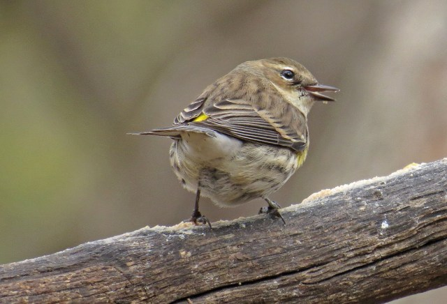 A Yellow-rumped Warbler packing in some protein.  Like I said in my last post, they always have that mischievous look in their eye.