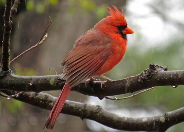 cardinal2