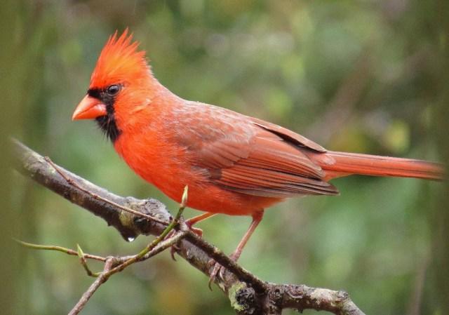 cardinal3