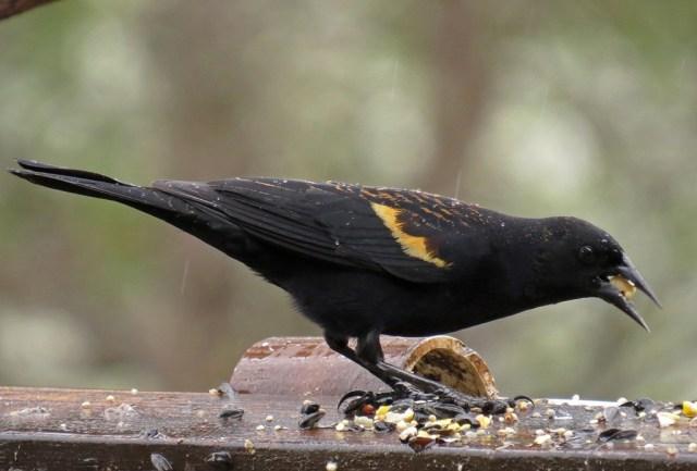 red-wingedblackbird