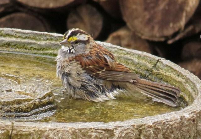 sparrow3