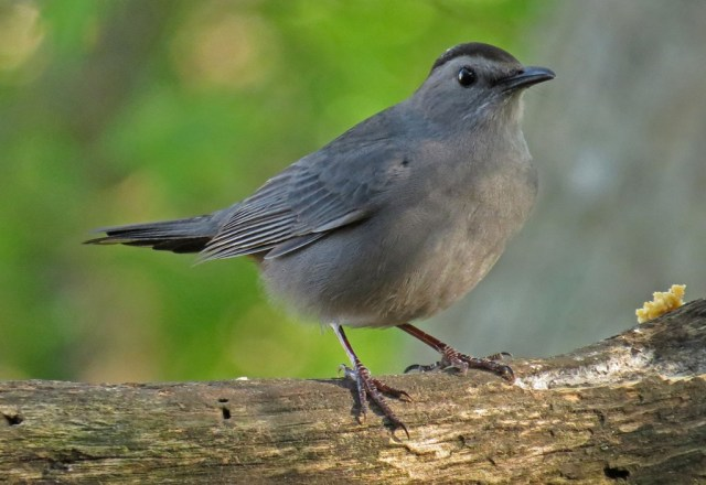 Gray Catbird making his first appearance of the season.