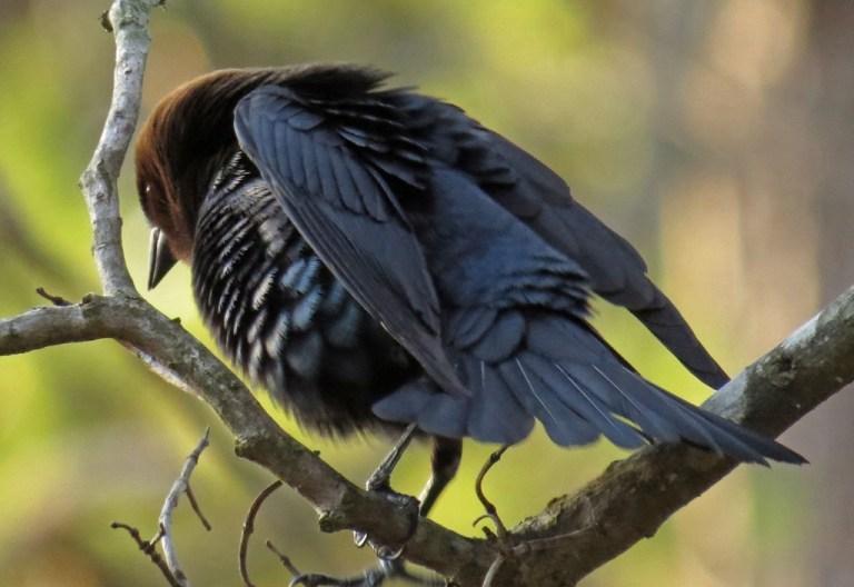 cowbird-b