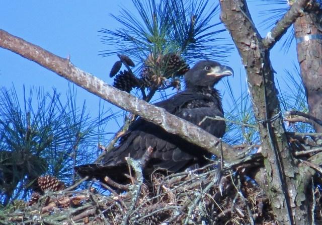 eaglet2