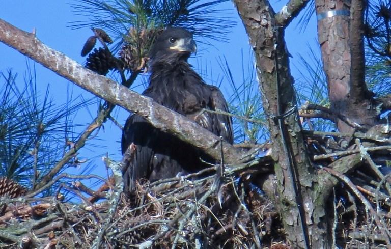 eaglet3