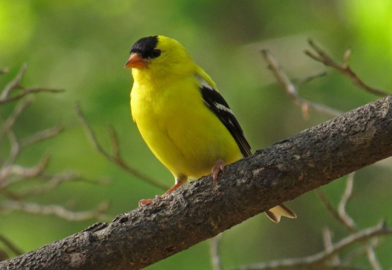 American Goldfinch in the early morning sun.