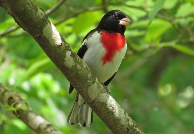 grosbeak1b
