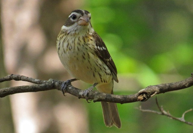 grosbeak3