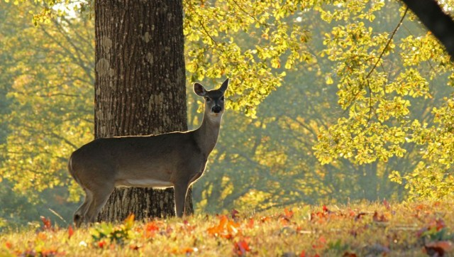 morning deer