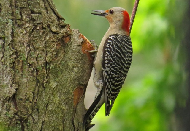 Female Red-bellied Woodpecker.  She made several trips to the feeder, so I am thinking she has a brood of babies.