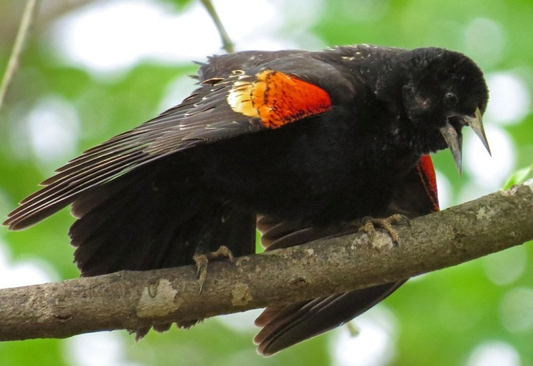 red-winged