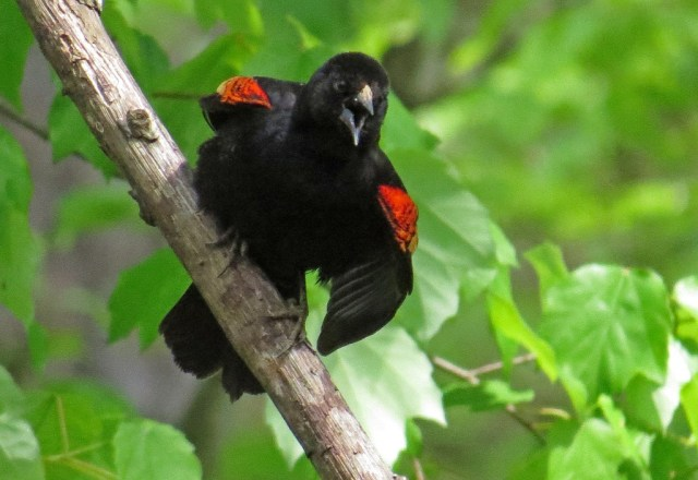 Red-winged Blackbird - I'm pretty sure he was fussing with the neighbor's cat.