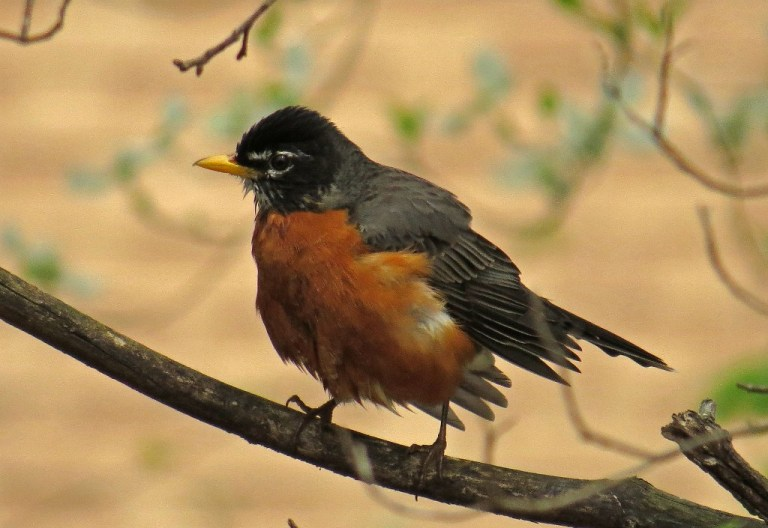 American Robin - drying off after a bath.