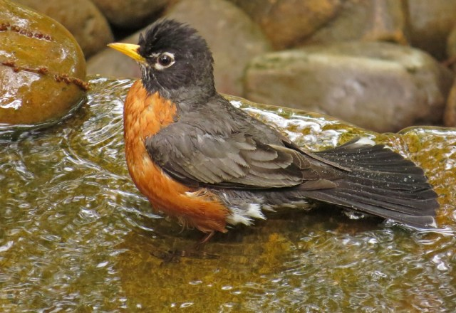 American Robin enjoying a refreshing bath in the fountain.