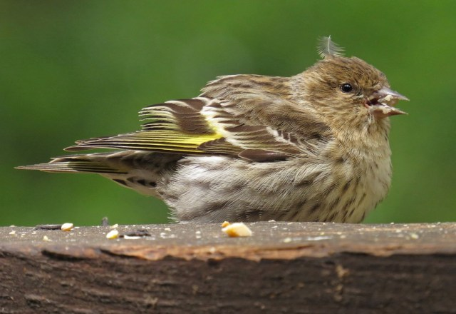 Young Pine Siskin - first fledgling photo of the spring.