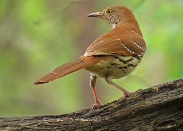 Brown Thrasher dropping in for a bite to eat.
