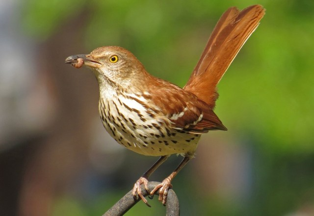 Brown Thrasher grabbing a bit of grub.