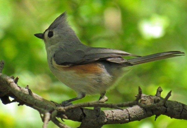 Tufted Titmouse - number two.  I couldn't decide which picture I liked better.