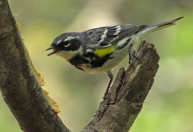Yellow-rumped Warbler.  His colors have really darkened up since fall.