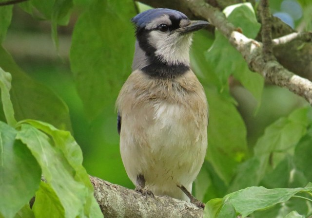 Blue Jay that looks like he took a bath in chocolate milk.
