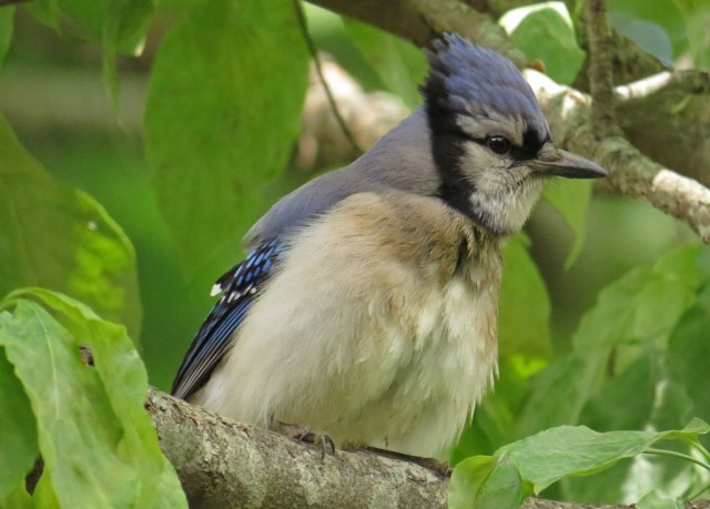 "The same Blue Jay sporting the ""asparagus head"" look."