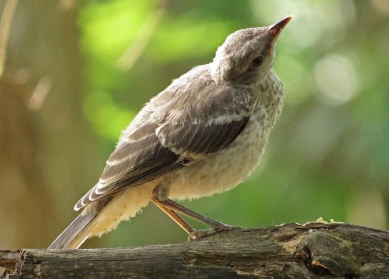 mockingbird6