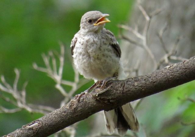 mockingbird9
