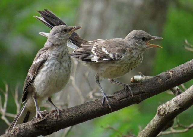 mockingbirds3