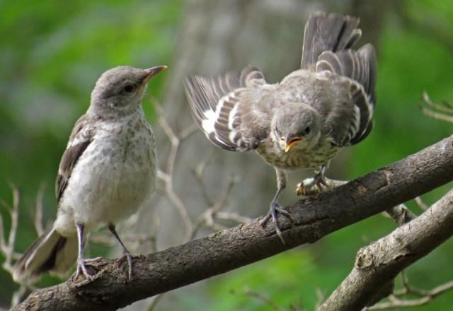 mockingbirds4