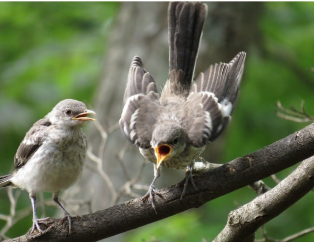 mockingbirds5