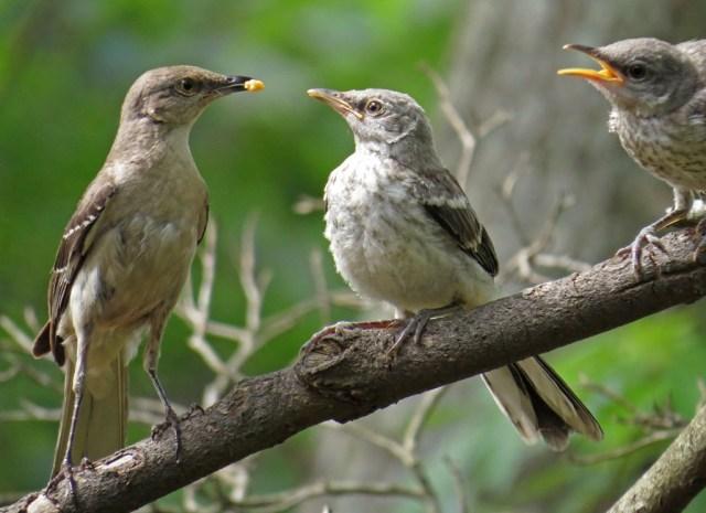 mockingbirds6