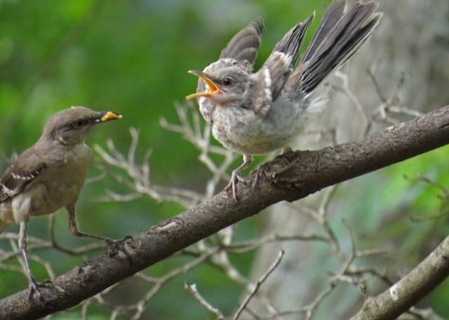 mockingbirds7