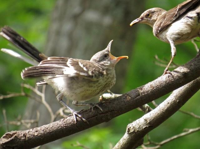mockingbirds8