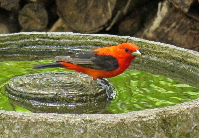 tanager1