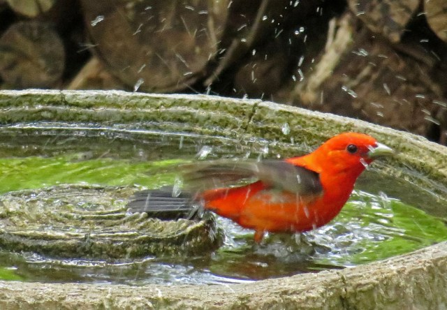 tanager2