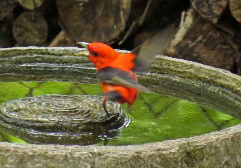 tanager3